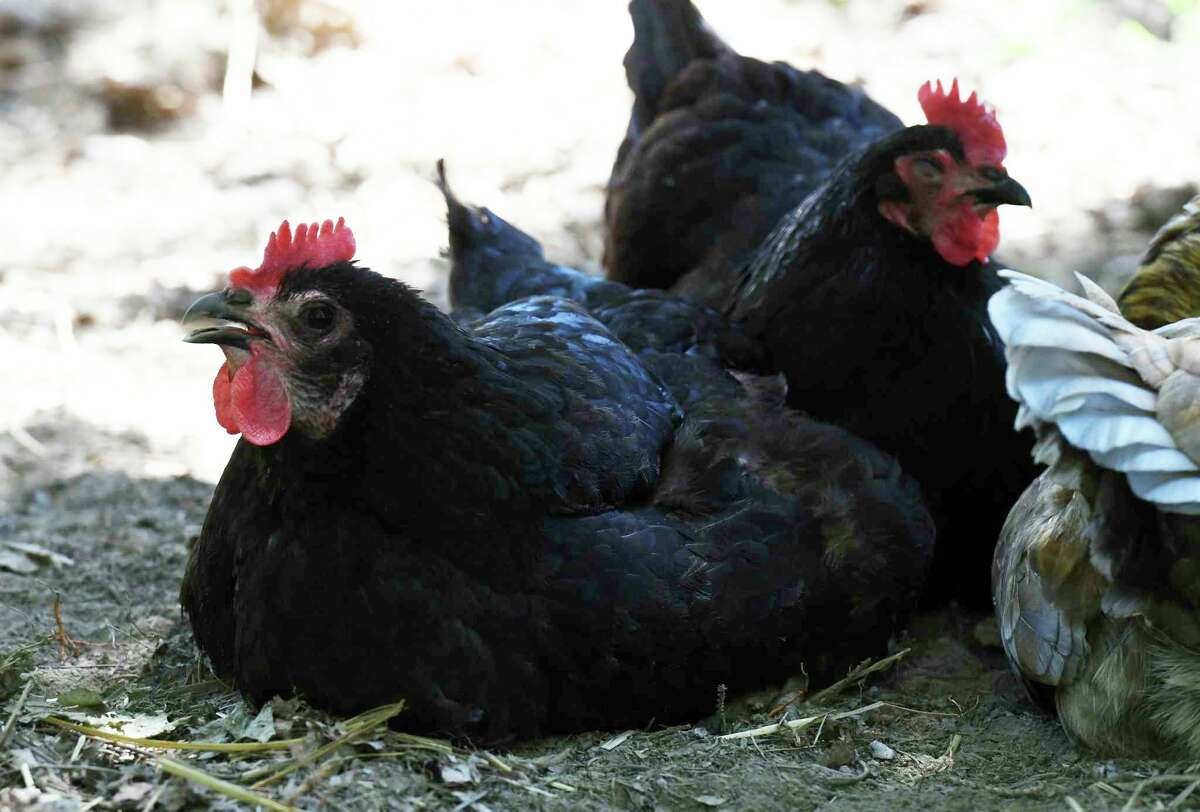 The Big Rapids City Commission approved recommended amendments to the city's chicken ordinance at its meeting this week. Big Rapids residents will now be allowed to keep up to 10 chickens on a residential property. (File photo)