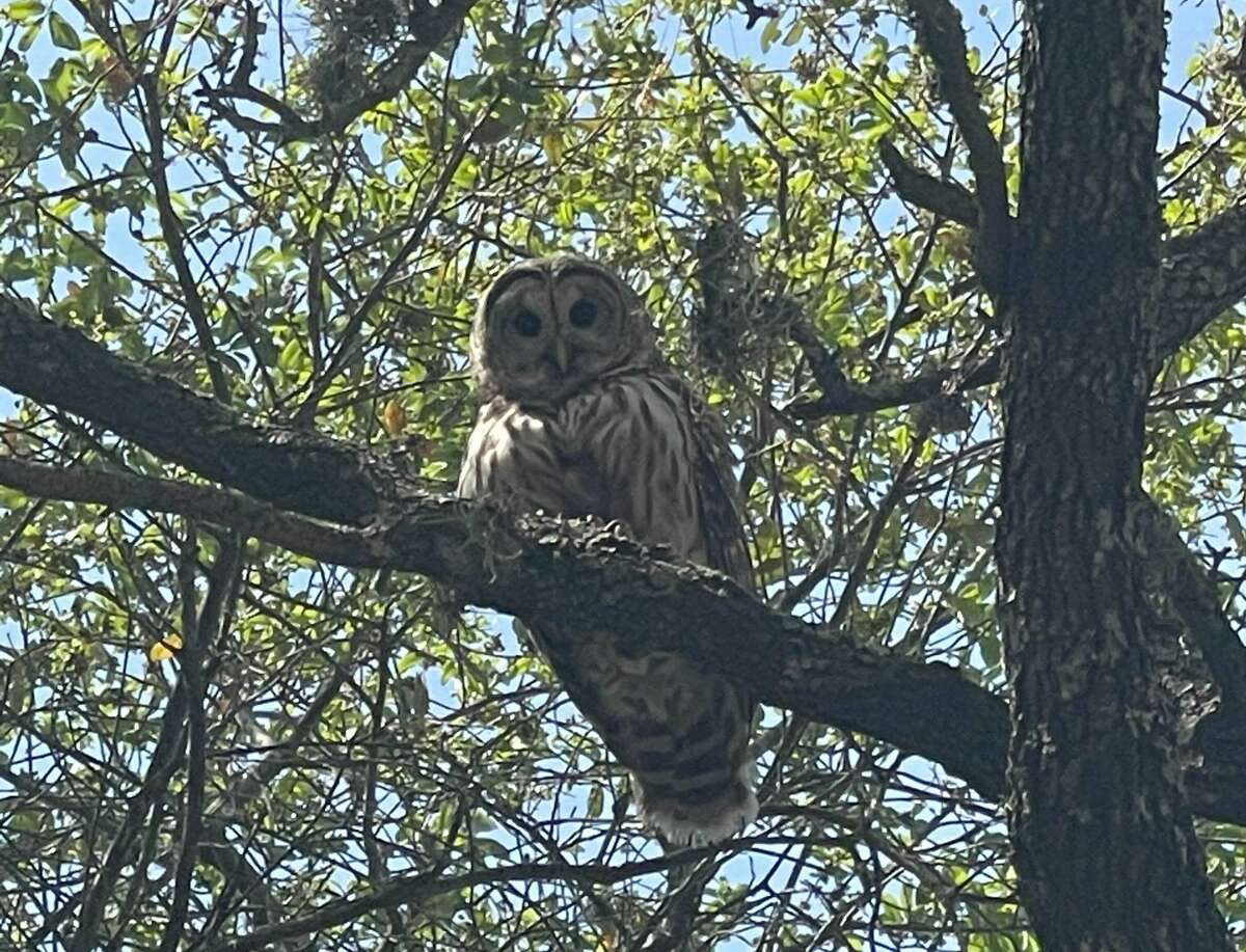 Hops & Hounds is currentlydealing with a situation where a family of owls has created a home in one of its trees on its patio, which isn't far from the front gates of McAllister Park at 13838 Jones Maltsberger Rd.