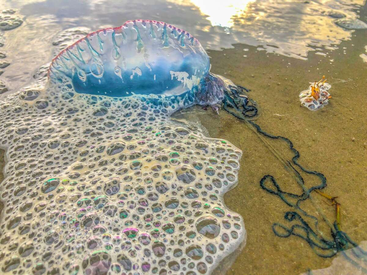 Visitors have been noticing Portuguese Man-of Wars washing ashore Port Aransas. *Photo taken of last summer in Port Aransas by local Neesy Tompkins.