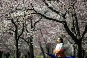 In this March 26, 2020, photo, a person takes in the afternoon sun among the cherry blossoms along Kelly Drive in Philadelphia. For millions of seasonal allergy sufferers, the annual onset of watery eyes and scratchy throats is bumping up against the global spread of a new virus that produces its own constellation of respiratory symptoms. That's causing angst for people who suffer from hay fever and are now asking themselves whether their symptoms are related to their allergies or the new coronavirus.