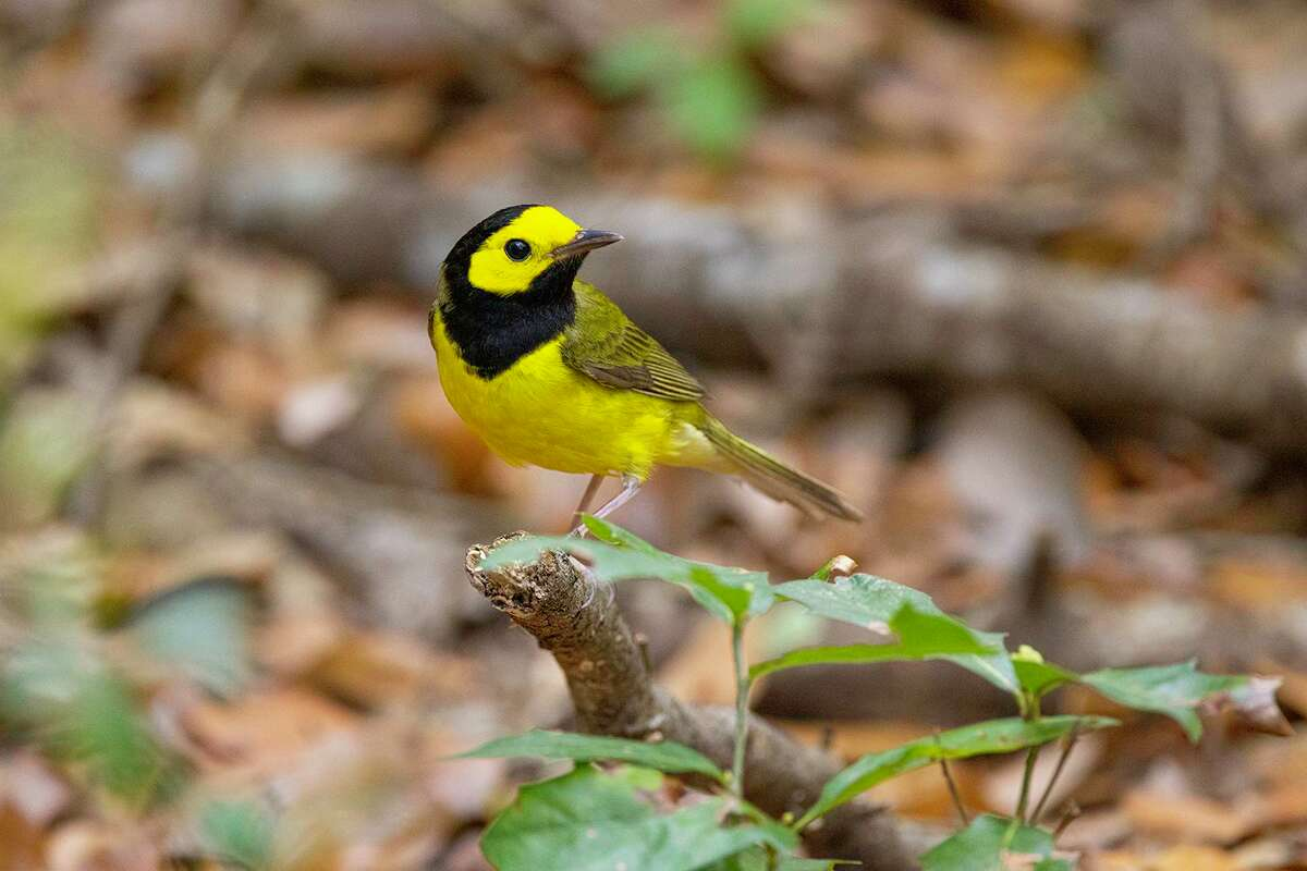 Hooded warblers are yellow birds with a black hoods. They are migrating through and can be found in coastal bird sanctuaries.