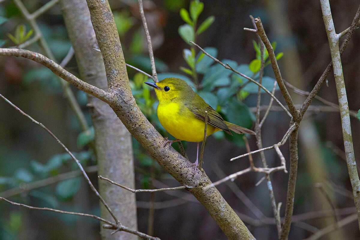 The female hooded warbler lacks the striking markings of the male.