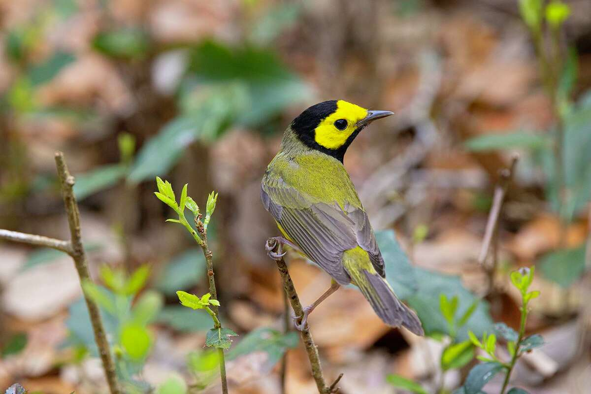 Hooded warblers are arriving from their winter homes mostly in Mexico. They will breed in East Texas north of Harris County.