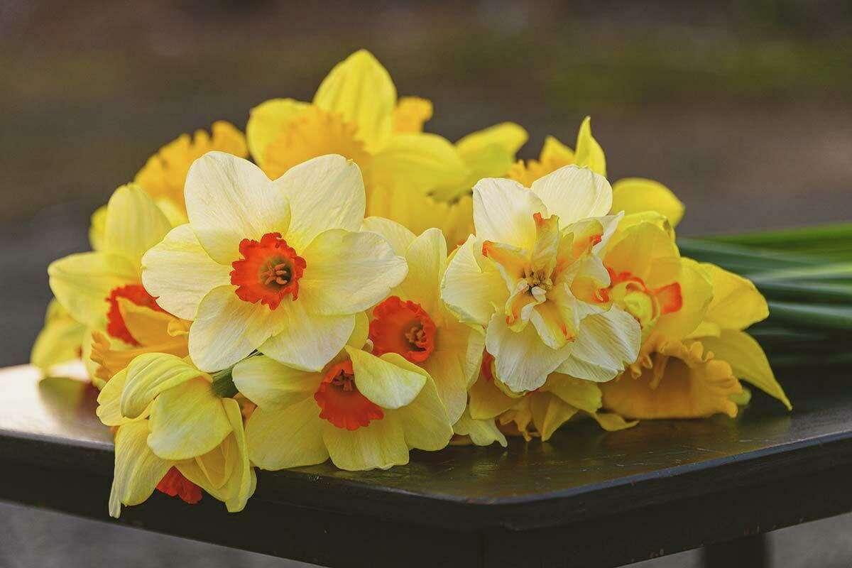 Drive, bike or walk to Higganum before the daffodils are gone.