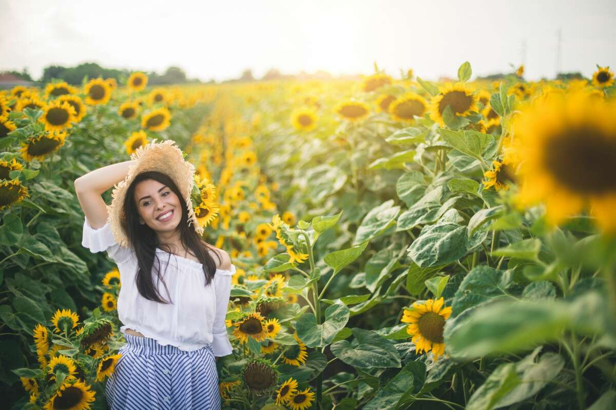 Ten acres of sunflowers are taking root in San Antonio for a month-long petal party complete with a maze, flower-picking and photo opportunities.
