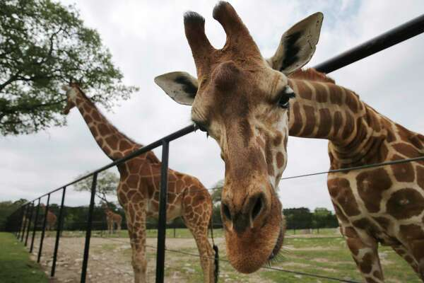 """A giraffe named Buddy gets a closer look at the camera as Natural Bridge Wildlife Ranch owner Tiffany Soechting gives a tour of her """"Texas Style"""" African safari in the northeast outskirt of San Antonio and Garden Ridge on Wednesday, Mar. 31, 2021. Her family has owned the ranch for 100 years and has operated as a drive-thru safari since 1984."""