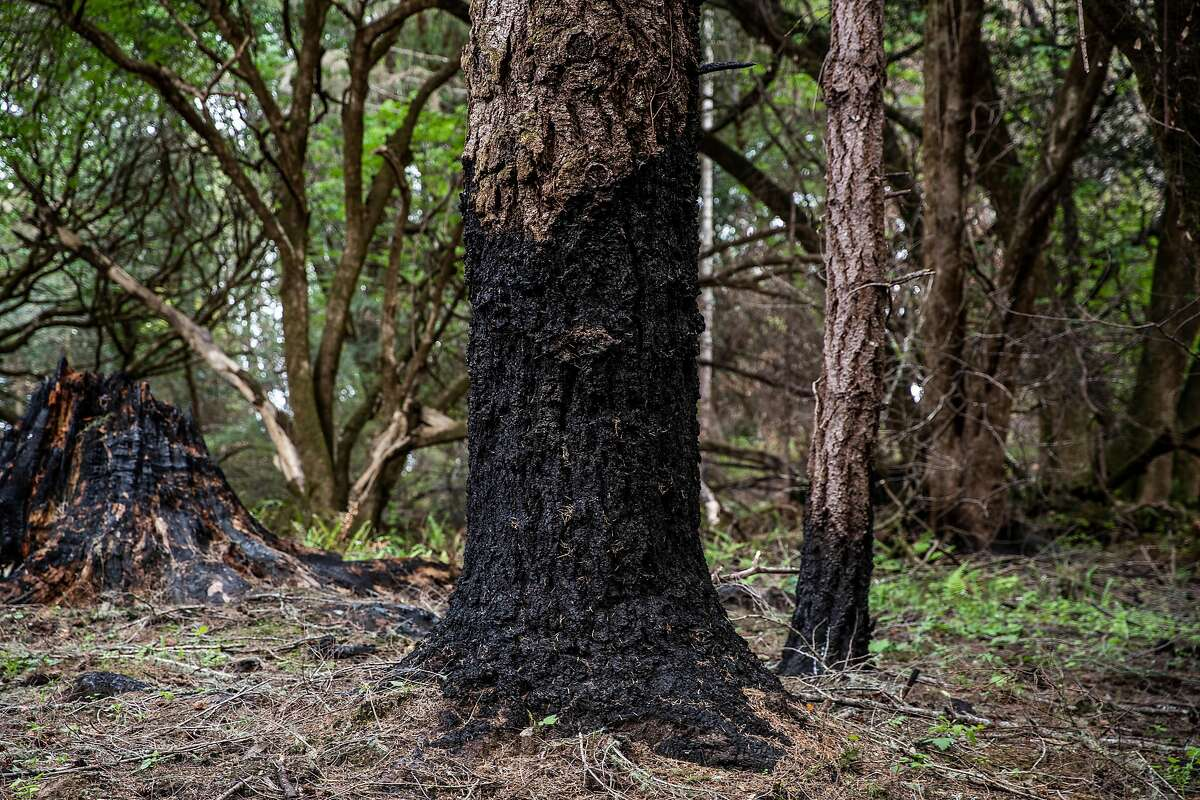 Charred trees from the 2020 Woodward fire along Limantour Road in Point Reyes National Seashore. All but one campground, Sky Camp, have reopened in the park and are getting booked 100% by reservation.