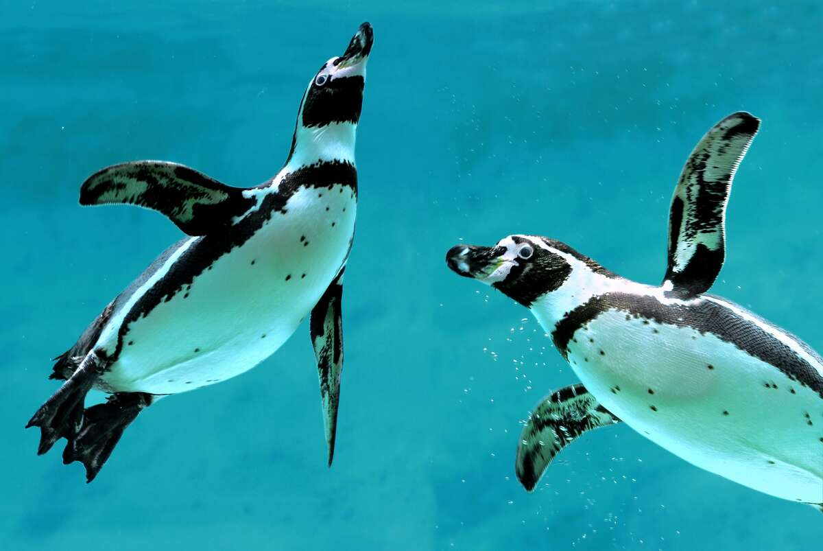 Humbolt penguins, coming to the Houston Zoo in fall 2022, are native to Chile and Peru.