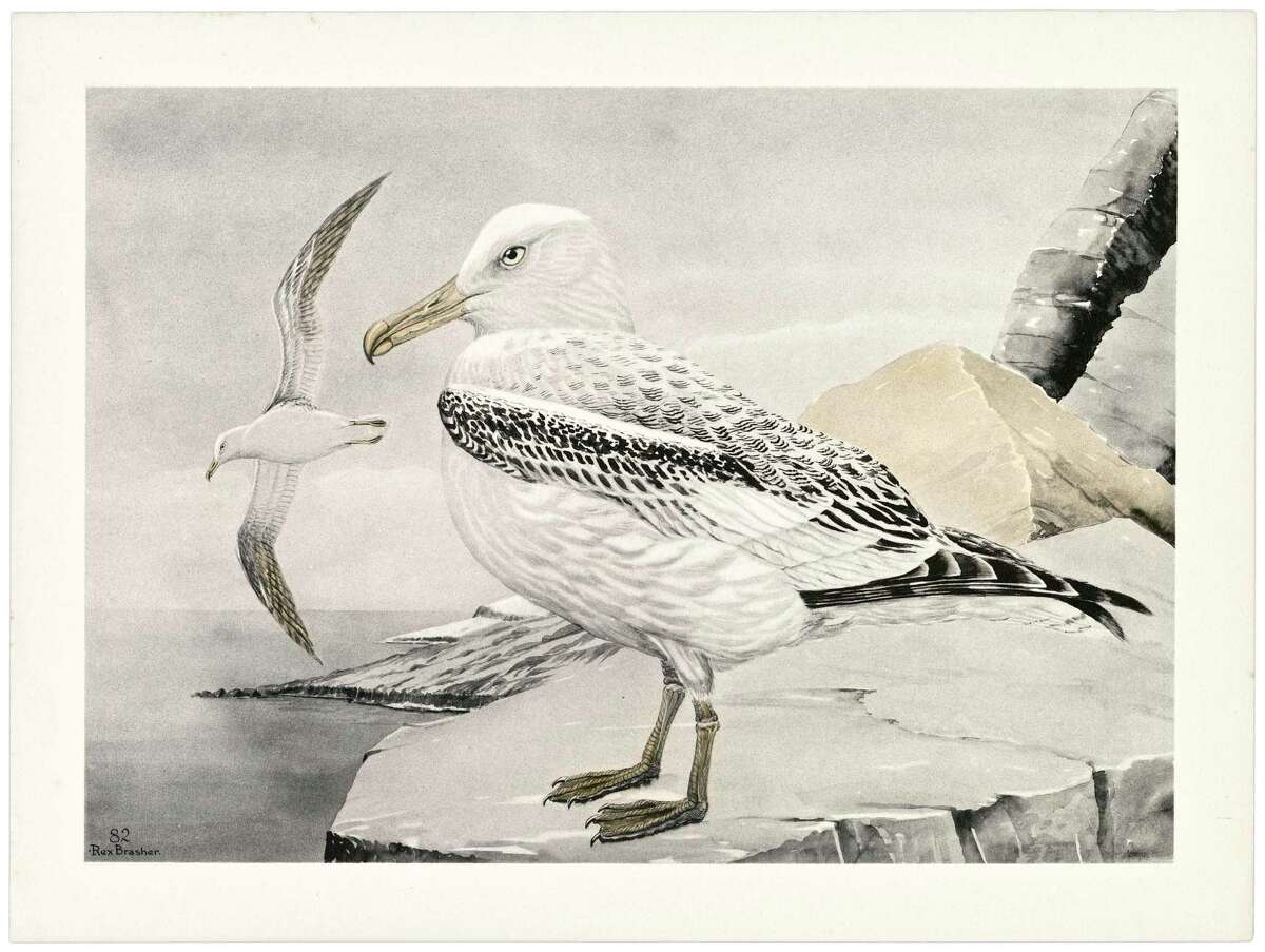 Connecticut artist Rex Brasher painted 875 watercolors of birds across North America, but his work has been stored out of sight, since 1988, at the University of Connecticut Library in Storrs. Shorttail albatross painting.