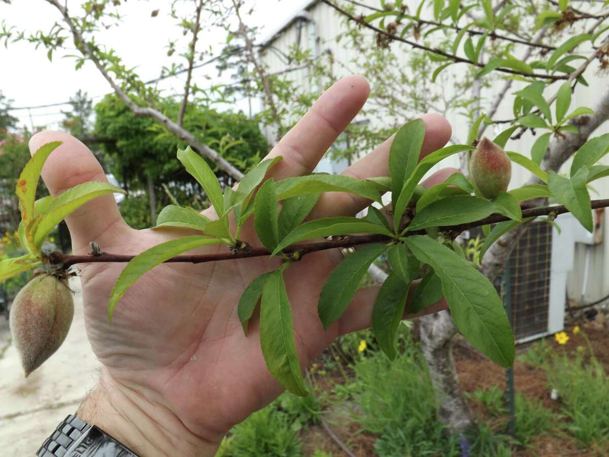 Two nice size peaches developing, smaller less developed peach in center can be removed.