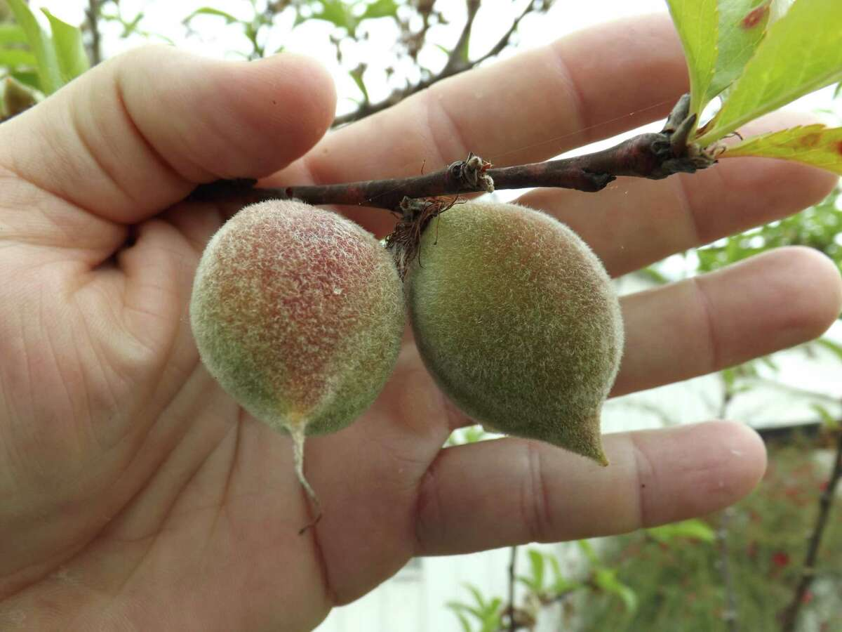 Two fruit of the same size too close together. Notice the double peach. (it can be removed)