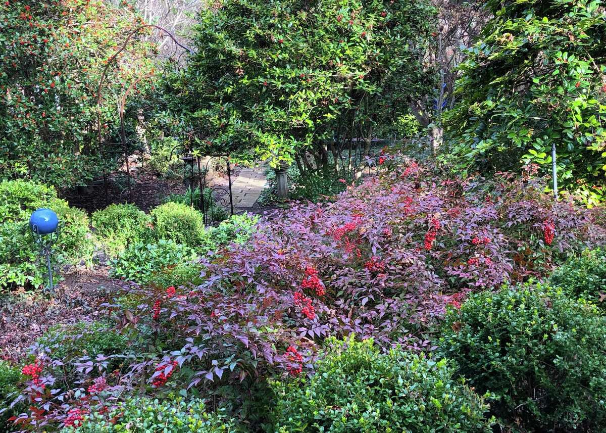 These are the compact nandinas in the Sperry landscape before the February freeze.