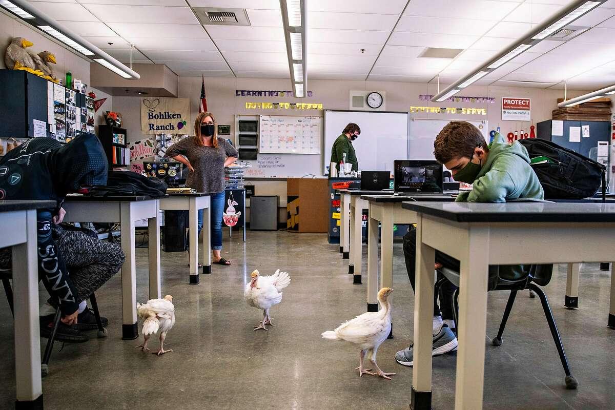 Turkeys roam inside an agricultural biology classroom at Sierra High School in Manteca (San Joaquin County).