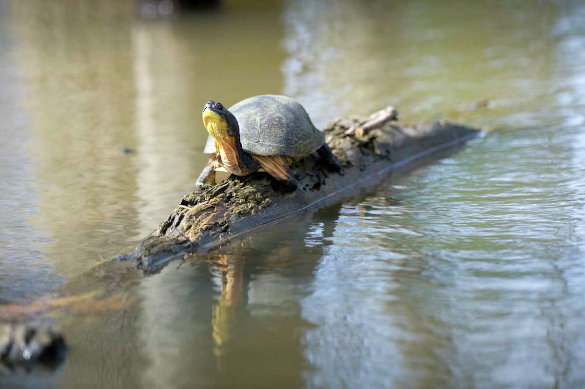 """DNR wildlife technician Amy Bleisch said it is important to report sightings of rare reptiles and amphibians, such as thisBlanding's turtle, seen sitting on a log in Windsor Township,southwest of Lansing. Sighting reports submitted toMichigan.gov/EyesInTheField, """"help shape our conservation efforts here in Michigan,""""she said. (Courtesy/Michigan Department of Natural Resources)"""