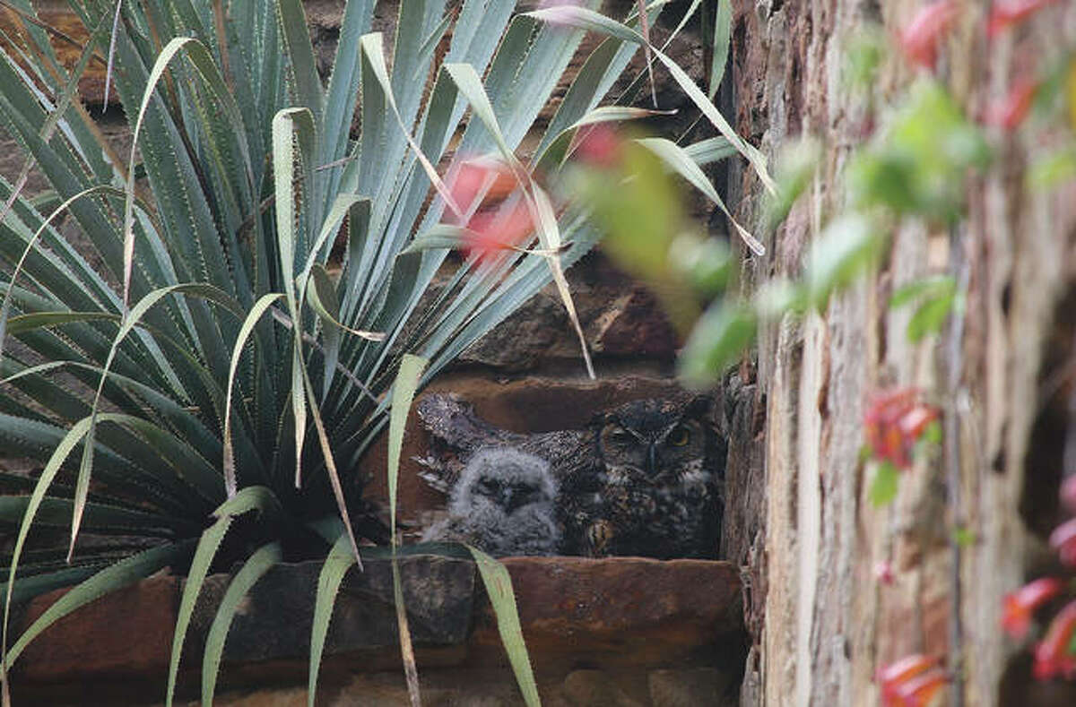 A great horned owl and owlet at the Lady Bird Johnson Wildflower Center in Austin, Texas. The owl returns to nest there every year.