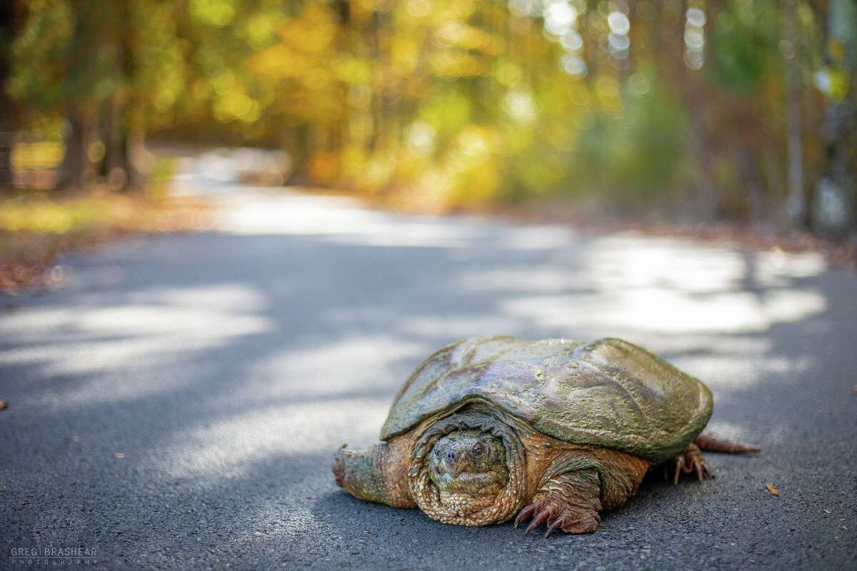Turtles sometimes find themselves on Texas roadways. There is a right way to help them get safely on the roads.