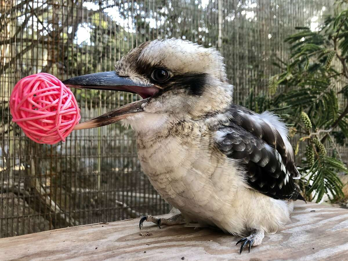 Koan is the San Francisco Zoo's first kookaburra ambassador since 1994. Guests will soon get to meet and interact with him