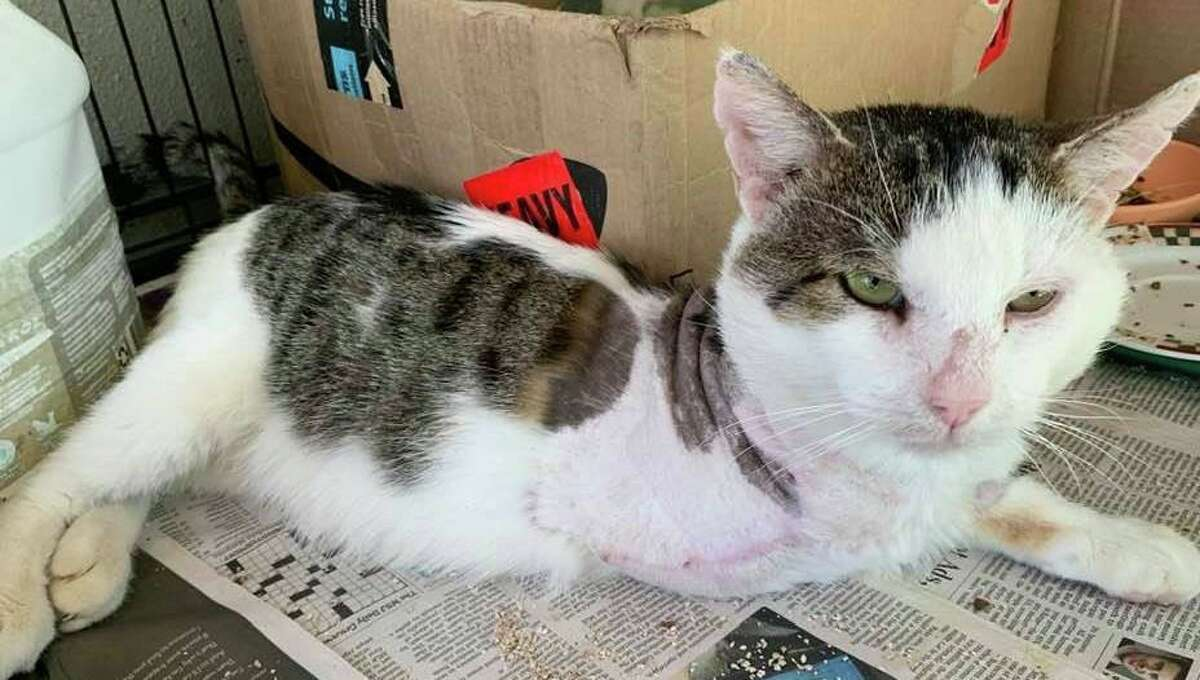 The 33 rescued cats were flown into Danbury Municipal Airport on Saturday and then were driven to New Hampshire for adoption. The cats included Arizona, who had its left leg amputated due to a gunshot wound.
