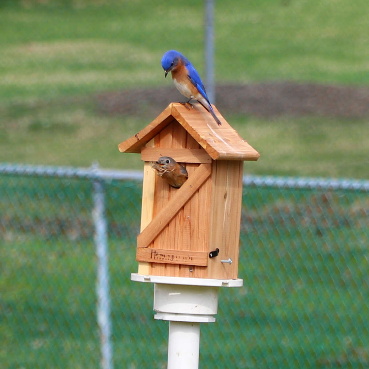 David and Krista Loffredo got acquainted with the new resident bluebirds photographed in their neighbor's yard in Latham.