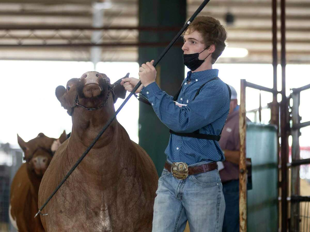 Blake Gatewood of Lake Creek High School enters show grounds during the Market Steer Show at the Montgomery County Fair & Rodeo, Tuesday, April 13, 2021, in Conroe. Gatewood was able to place second with his steer.