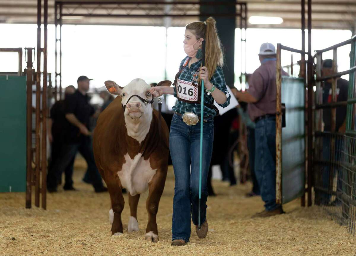 Payton Flynn of Lake Creek High School enters the competition grounds with her steer during the Market Steer Show at the Montgomery County Fair & Rodeo, Tuesday, April 13, 2021, in Conroe. Students from neighboring schools were able to showcase their steer.