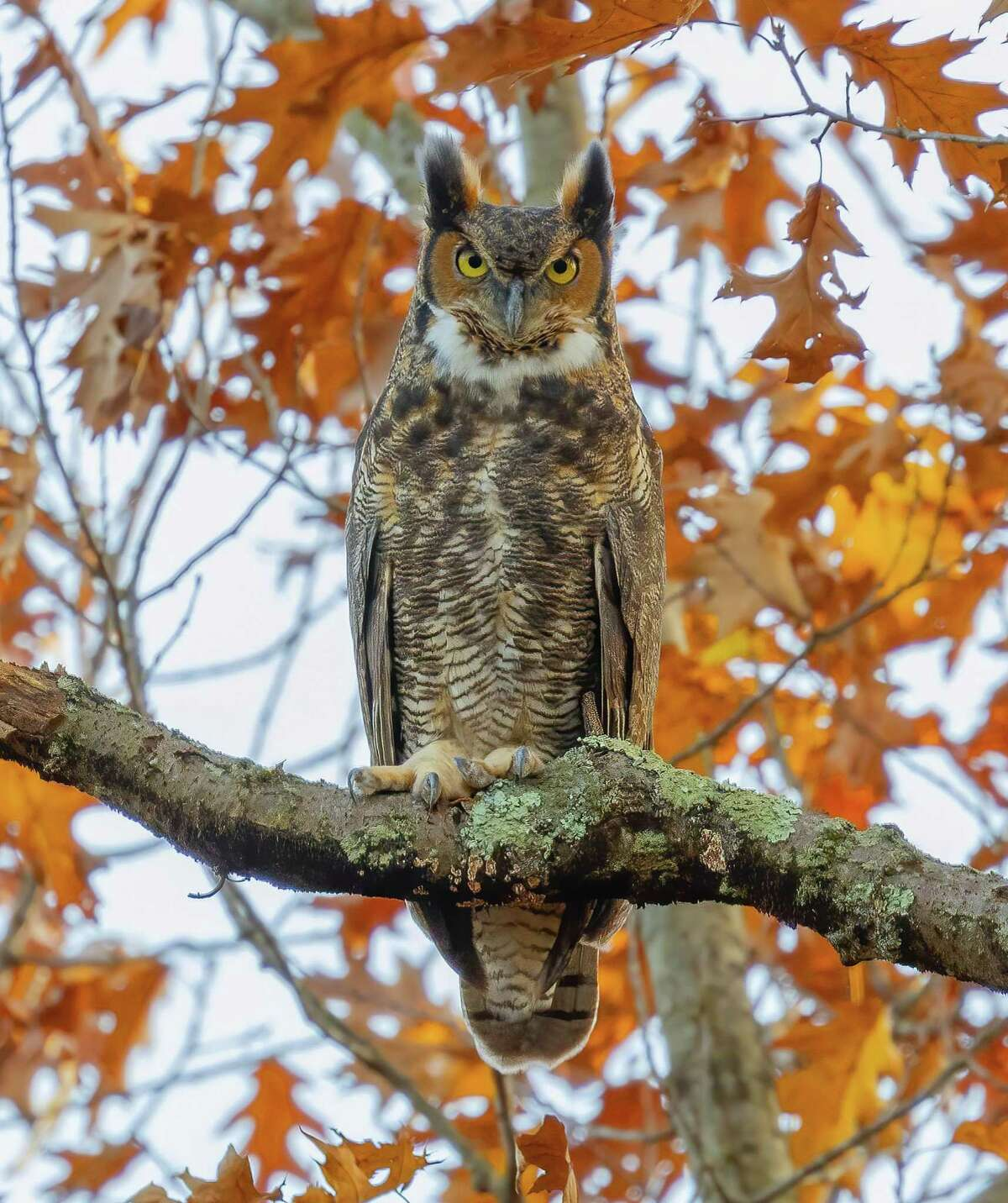 A great horned owl, a large owl native to the Americas, as photographed by Tomas Koeck.