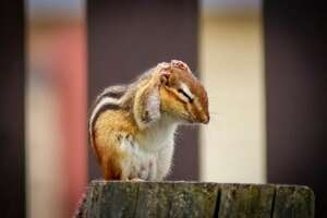 When crops of things like acorn and beech nuts, as well as fruits and seeds are high, chipmunk reproduction goes up. This year, there's less food available, so there are fewer chipmunks.