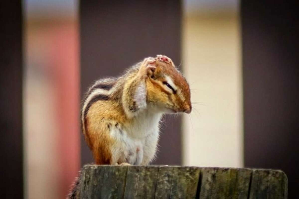 The jury is out on the exact reason why some in the New Paltz area spotted fewer chipmunks this spring, but generally speaking, when tree crops of acorn and beech nuts are high, chipmunk reproduction goes up. When there is less food available, the population dwindles.