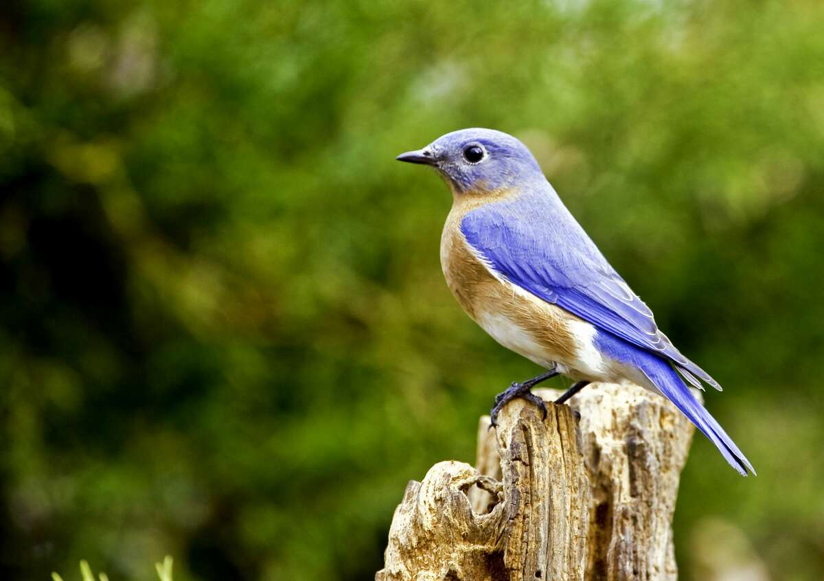 """The Eastern bluebird, New York's state bird, is typically one of the first birds to return in the spring and was once considered rare. Habitat: Bluebirds like to nest in dead trees, often in fields, meadows or orchards.What to watch for: The male is bright blue with white undersides and a rust-colored breast. The female is grayish blue.What to listen for: A musical """"chur-wi"""" or """"tru-ly"""".Watchable wildlife spots: Five Rivers Environmental Education Center - Delmar, NY Stony Kill Farm Environmental Education Center"""