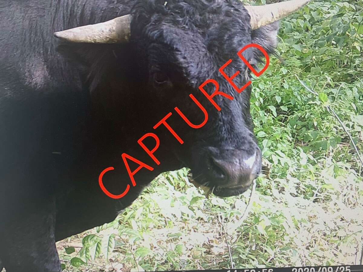 Buddy the beefalo