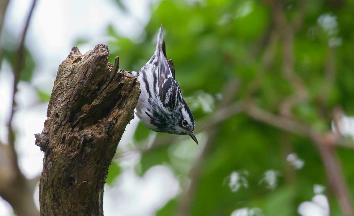 Watch for black-and-white warblers in the trees at Bobcat Woods at the San Bernard National Wildlife Refuge this spring. Photo Credit: Kathy Adams Clark. Restricted use.