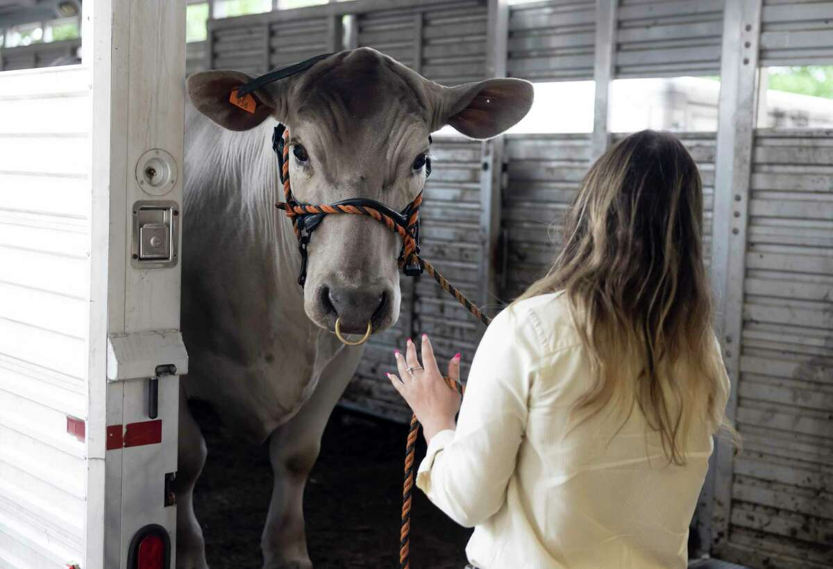 Taylor Turner of College Park High School unloads her Grand Champion Steer from a trailer during the Junior Livestock Auction at the Lone Star Convention Center, Wednesday, April 14, 2021, in Conroe. Turner's steer sold for $55,000 and will be used toward college expenses.