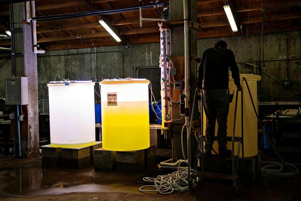Joe Newman, a developmental technician, at the UC Davis Coastal and Marine Sciences Institute's Bodega Marine Laboratory, cleans an algae culture growing tank in Bodega Bay, California Thursday March 25, 2021.