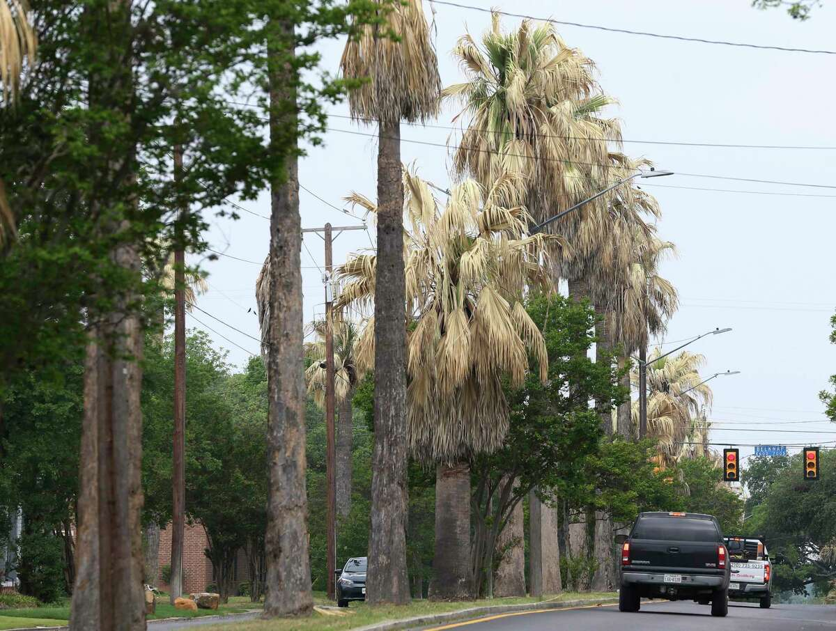 Washingtonia palms show signs of freeze damage along Woodlawn Avenue between San Pedro and McCullough Avenues. The palms have stood guard over the stately homes of the Monte Vista Historic District for almost 100 years. It's unclear whether they survived the freeze.