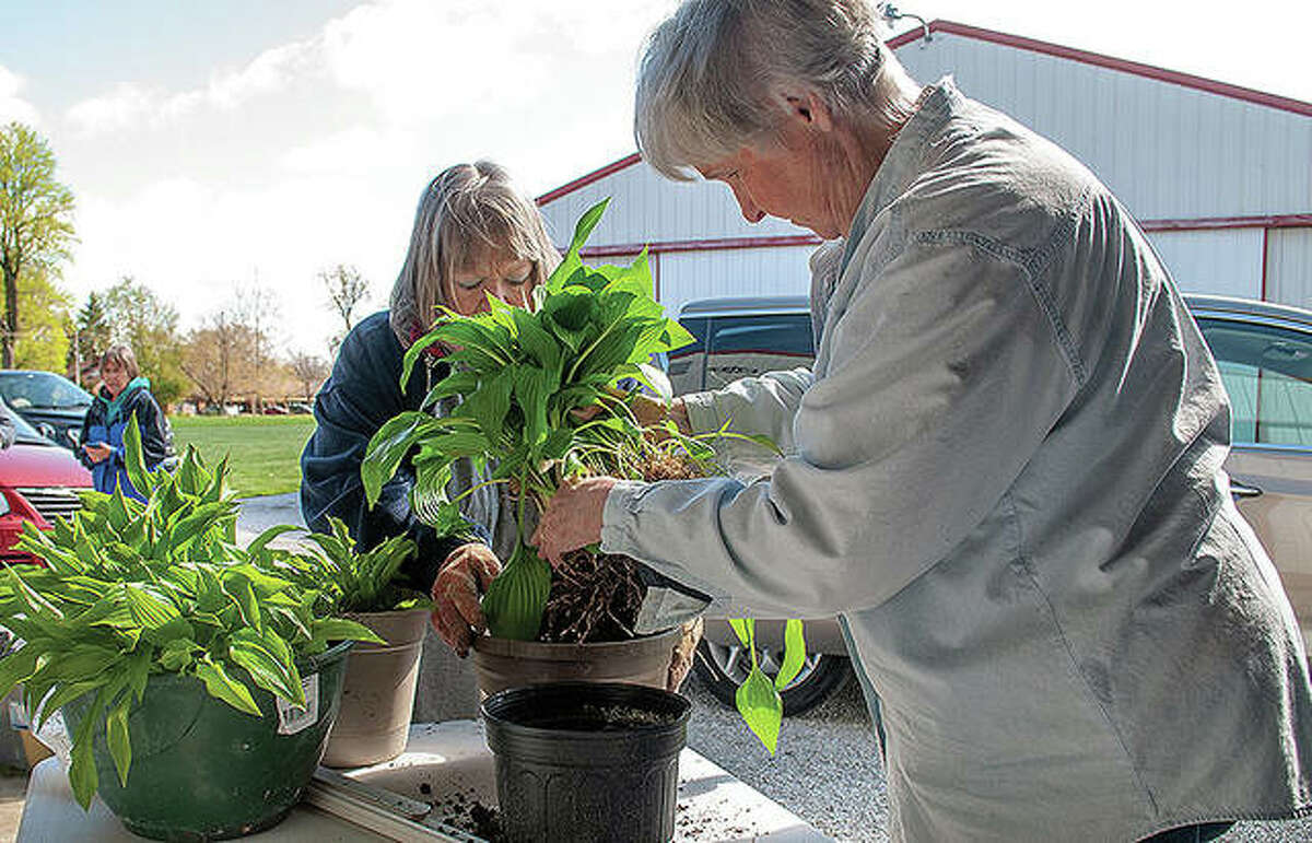 Morgan County Garden Club members Joyce Ginder (left) and Marylou Seymour-Smith pot plants Thursday in preparation for the club's annual plant sale, which will be from 4 to 6 p.m. Tuesday at Prairie Land Heritage Museum.