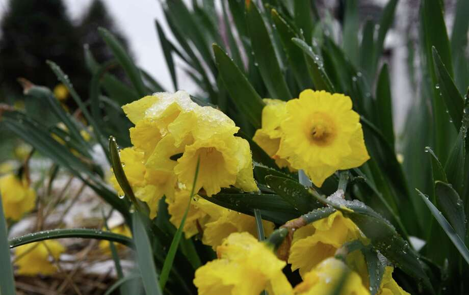 Daffodils droop under the weight of morning snowfall on Friday, April 16, 2021, in a roadside flower bed on Route 9W at Plank Road in Bethlehem, N.Y.  (Will Waldron/Times Union) Photo: Will Waldron, Albany Times Union