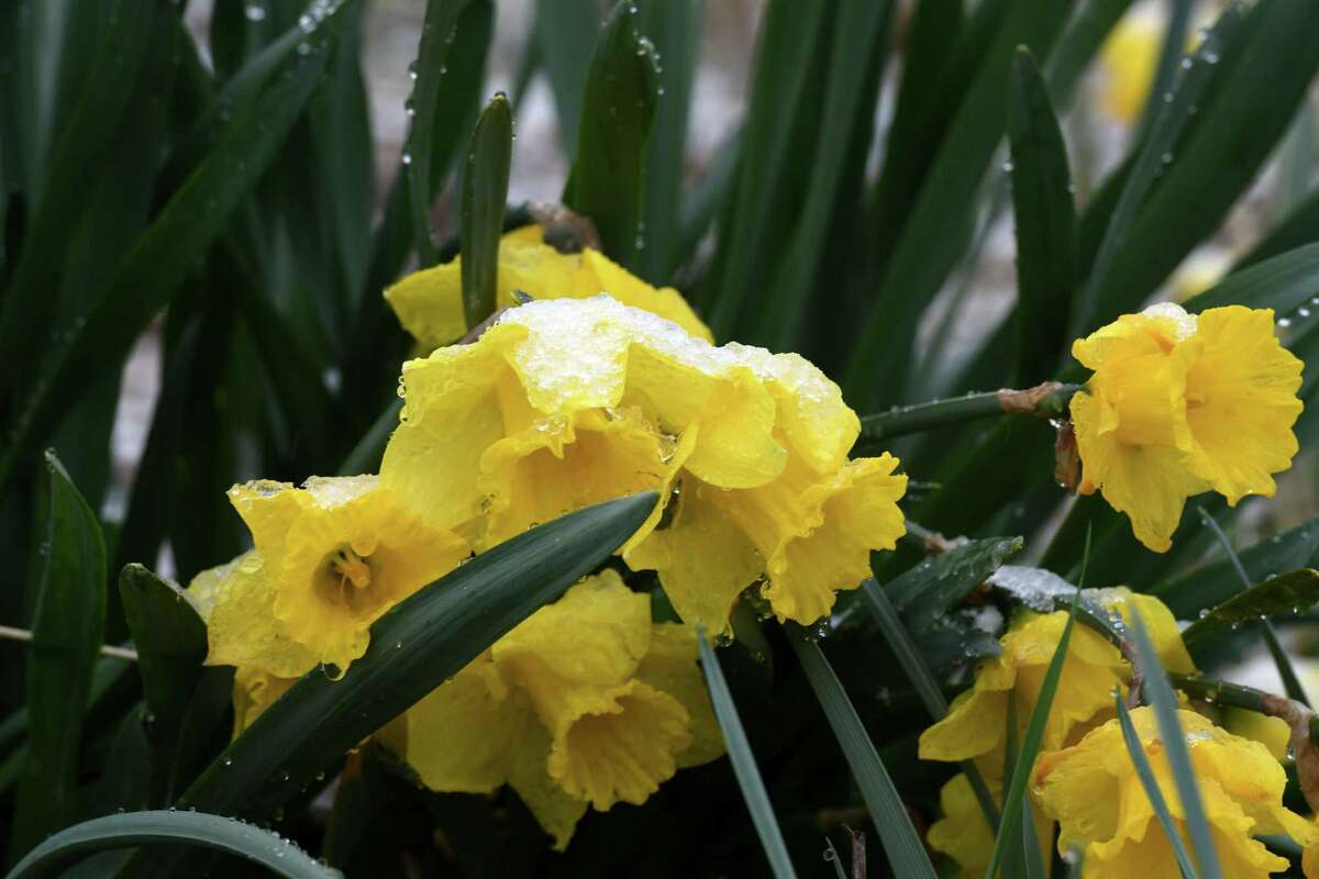 Daffodils droop under the weight of morning snowfall on Friday, April 16, 2021, in a roadside flower bed on Route 9W at Plank Road in Bethlehem, N.Y. (Will Waldron/Times Union)