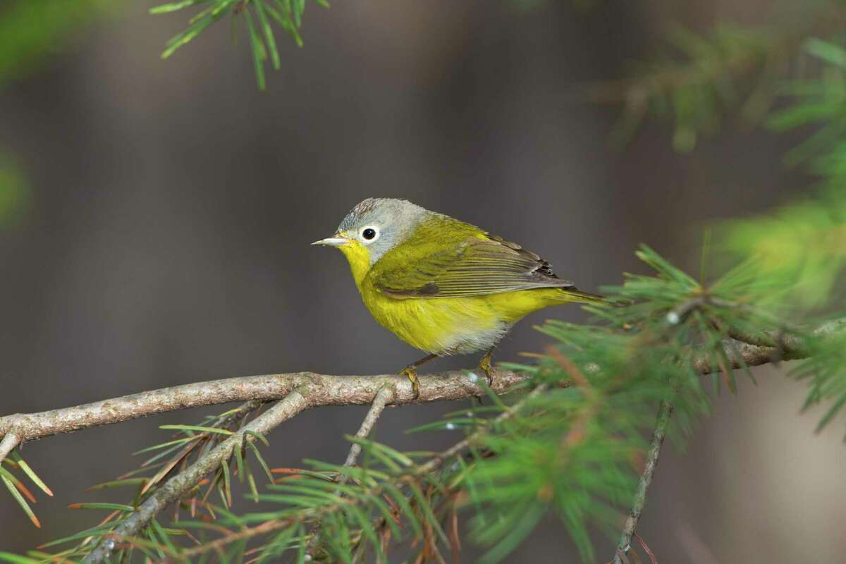 Nashville warblers were among the casualties when 400 winged carcasses were found at the foot of the American National Building in Galveston. The incident initiated the Lights Out for Birds Program in Houston.