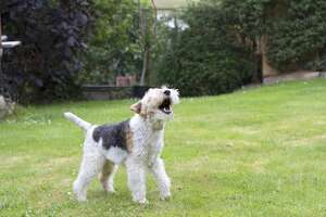 A barking terrier. (Terrier pictured here is neither Mei Mei or Squirt.)