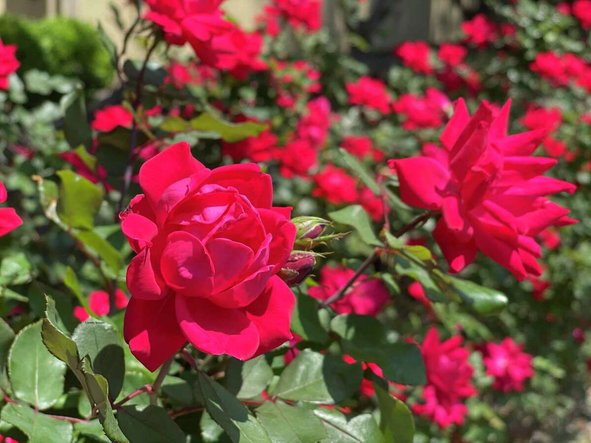 Rose blooms got a boost from the Houston freeze. Knockout roses make a colorful hedge.