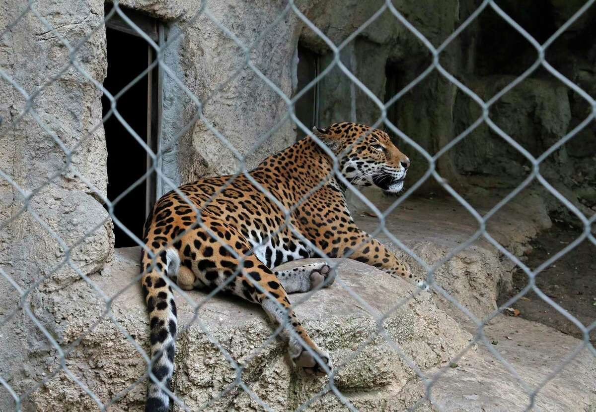 The zoo has two jaguars, big cats native to Central and South America and now extinct in the U.S.