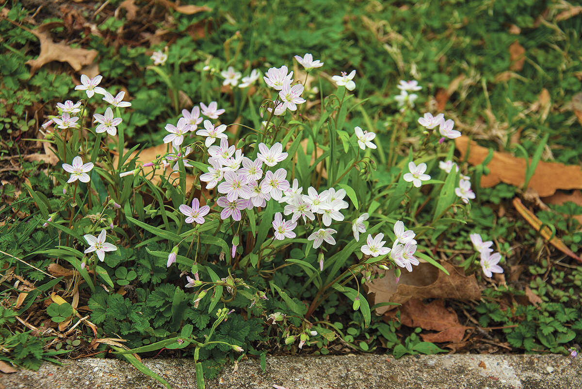 A clump of spring beauty (Claytonia virginica) bloom in Duncan Park in Jacksonville.