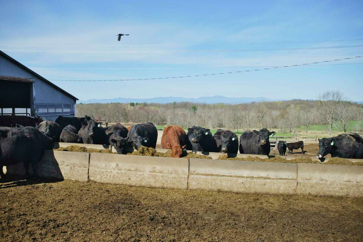 Cows feed at Trowbridge Farms on Wednesday, April 14, 2021, in Ghent, N.Y. (Paul Buckowski/Times Union)