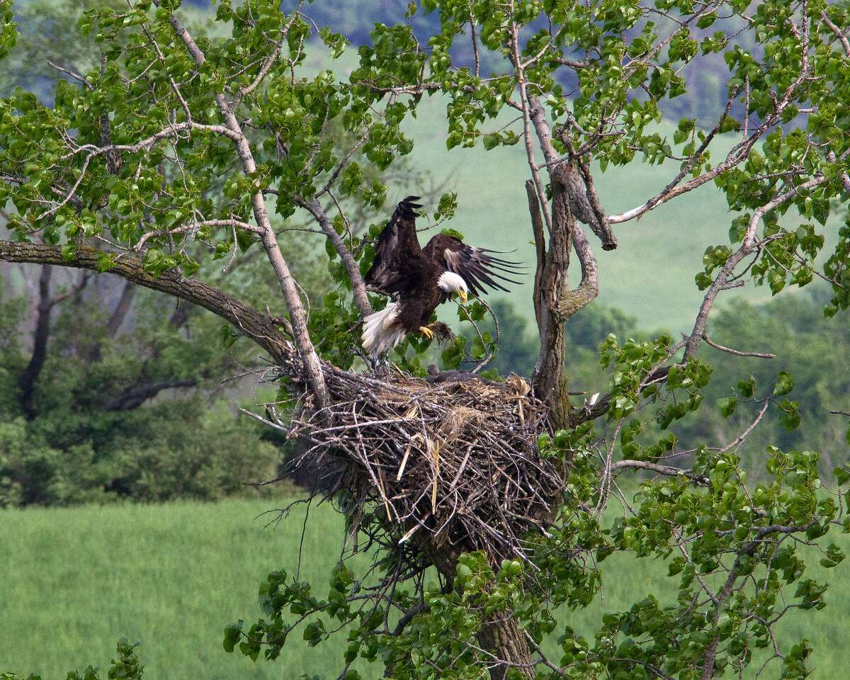 Bill Combs, Jr. photographs the birds and monitors their mating and nesting habits. A virtual launch event of the opening of the trail is scheduled for April 24 at 10 a.m.
