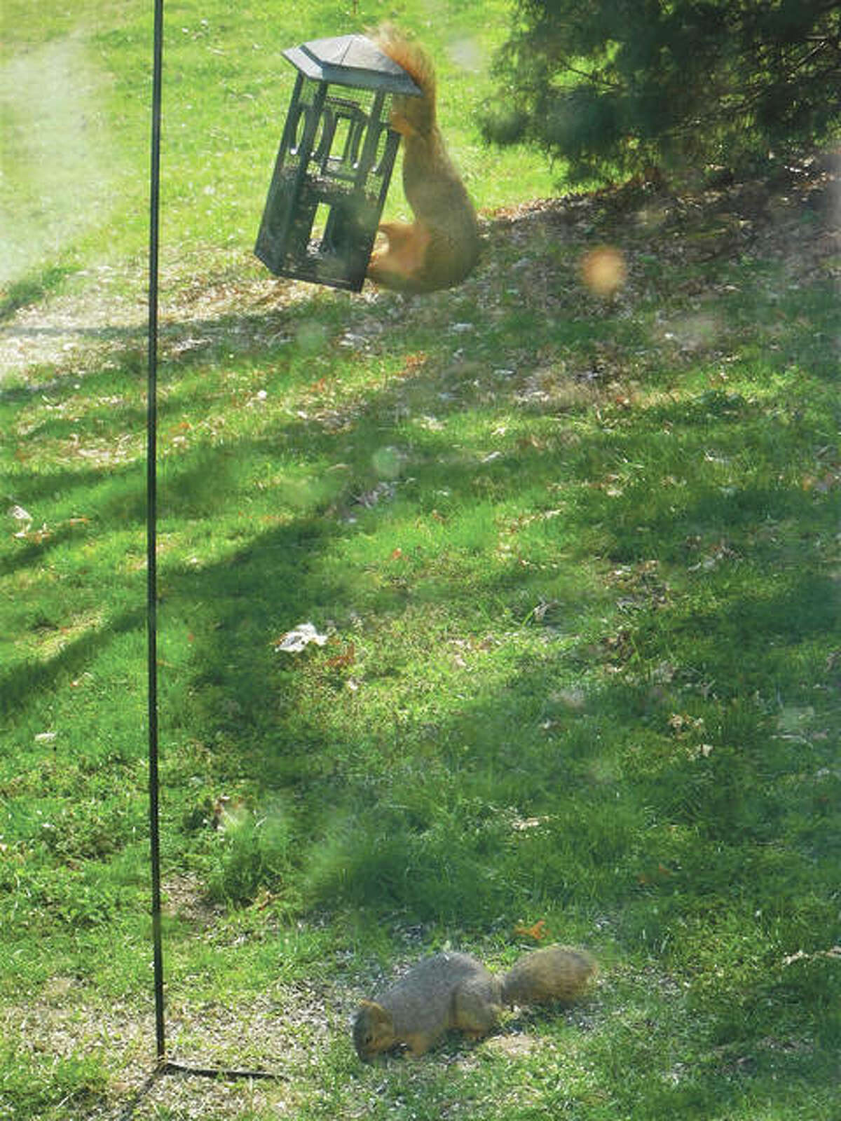 A squirrel throws food down for another squirrel to collect.