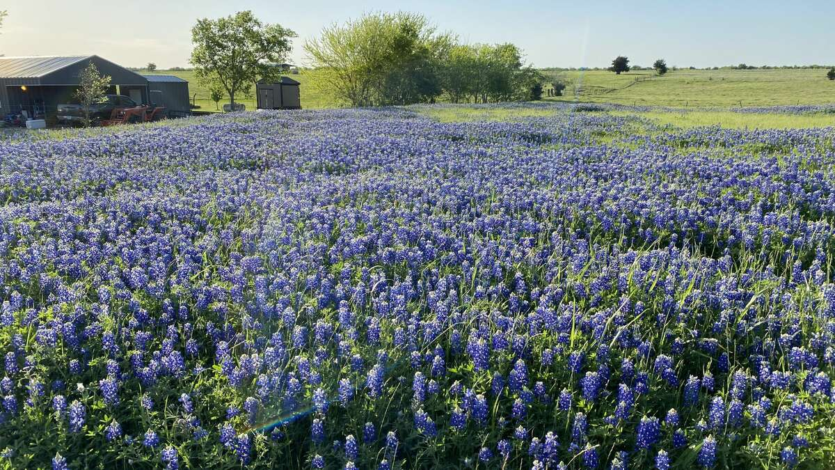 A field of bluebonnets on the side of the South Trail, one of the best locations for viewing and photographing the bluebonnets.