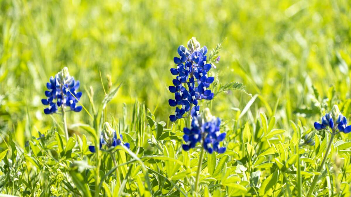 The vibrant blue wildflower known as the Texas Bluebonnet is a great reason to visit Texas in spring.