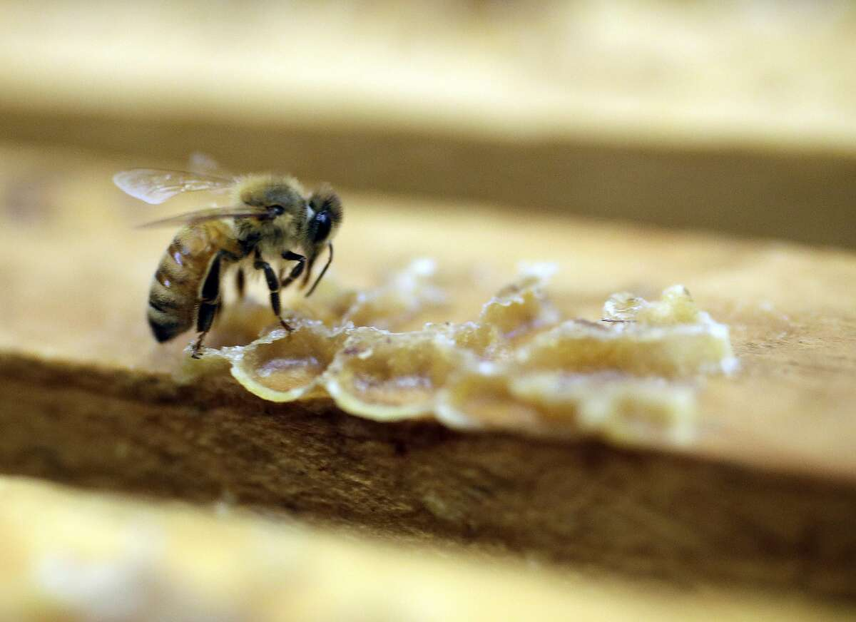A bee works on a honeycomb at an apiary in central California. The Biden administration is proposing to continue licensing of the widely used insecticide sulfoxaflor while examining the chemical's harmful effect on bees.