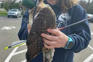 A red-tailed hawk rescued in Newtown with an arrow piercing its body is recovering after surgery at Weston-based Christine's Critters.