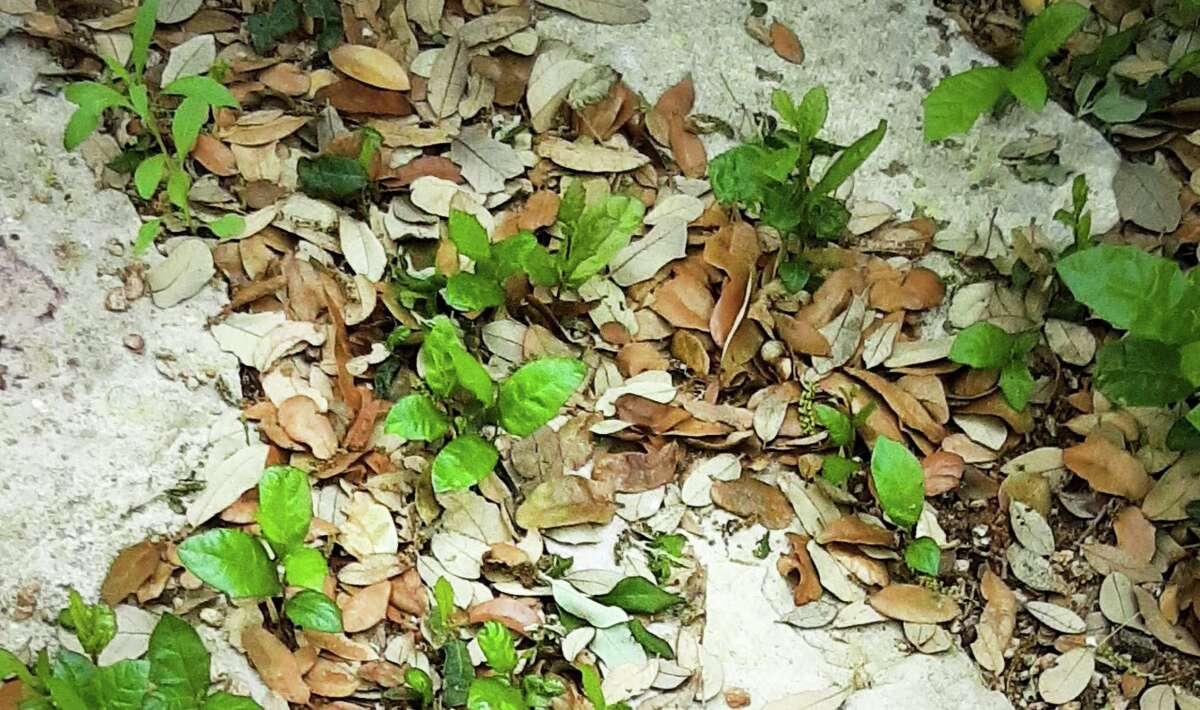 Live oak sprouts or seedlings